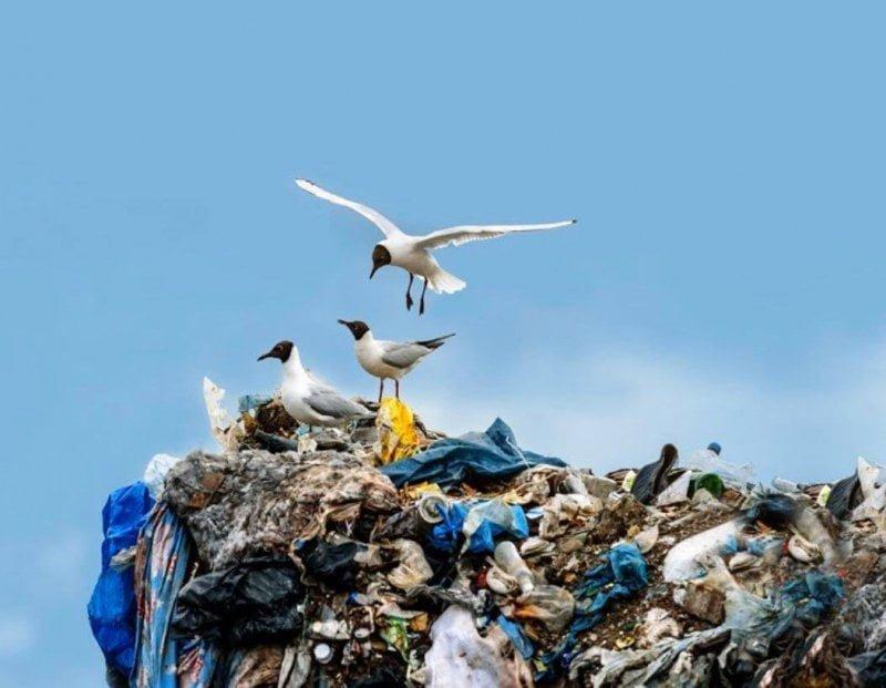 Seagulls on landfill